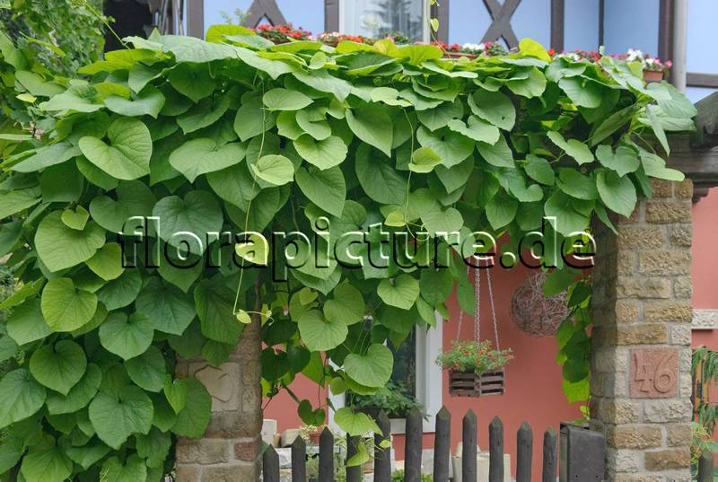 aristolochia macrophylla foto 2009. Black Bedroom Furniture Sets. Home Design Ideas
